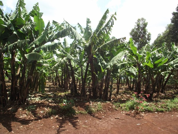 A small banana farm project at Kemakorere Parish